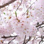 明石公園の桜の見ごろは?開花は?ライトアップされる?花見の屋台は?