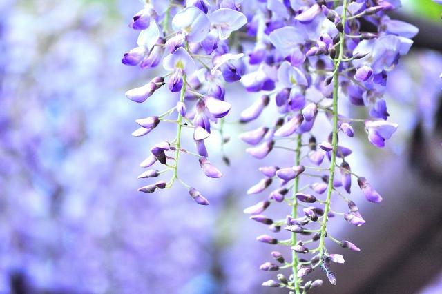 天王川公園の藤まつり 藤の見ごろは?開花状況は?ライトアップはされる?